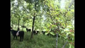 Shepard silvopasture w cattle