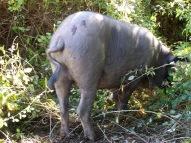 20111111 Schweine Quellental 008